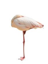 Pink Flamingo Sleeps On One Leg Isolated Without Shadow