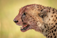 Close-up Of Bloody Cheetah Head In Profile