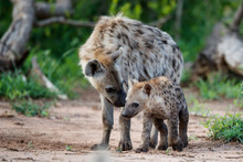 Hyena Pup Playing At The Den W...