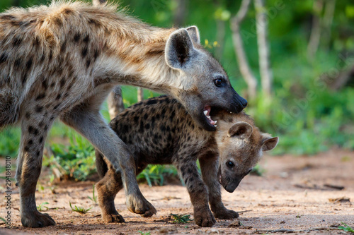 Poster Hyène Hyena pup playing at the den with sunrise in Sabi Sands Game Reserve in South Africa