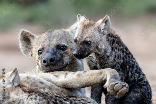 Poster Hyène Hyena mothers with pup at the den with sunrise in Sabi Sands Game Reserve in South Africa