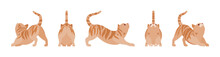 Ginger Tabby Cat Stretching. A...