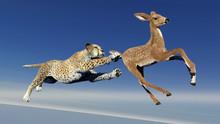 Cheetah Is Hunting An Antelope...