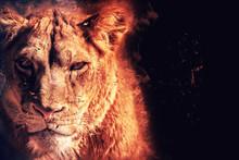 Predator Lioness On Black Back...