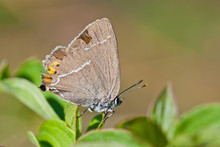 Blue Spot Hairstreak (Satyrium Spini) Butterfly Sits On Green Leaves.