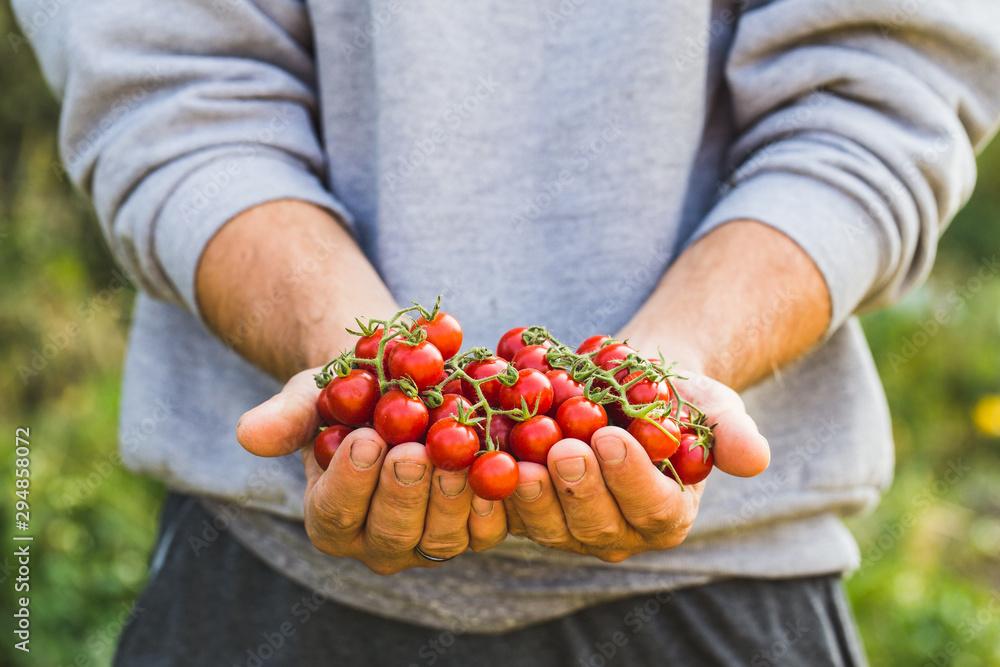 Fototapeta Farmers holding fresh tomatoes. Healthy organic foods