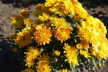 Compact Bush Of Amber Yellow C...