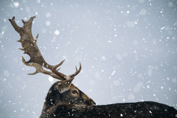 Beautiful white-tailed deer in winter. Christmas concept.