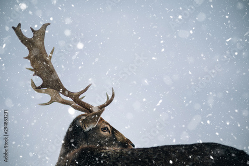 Beautiful white-tailed deer in winter. Christmas concept. Canvas Print