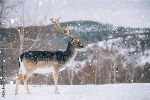 Foto op Canvas Hert Beautiful white-tailed deer in winter. Christmas concept.