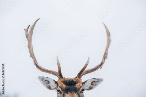 Spoed Foto op Canvas Hert Beautiful white-tailed deer in winter. Christmas concept.