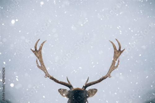 Fotobehang Hert Beautiful white-tailed deer in winter. Christmas concept.