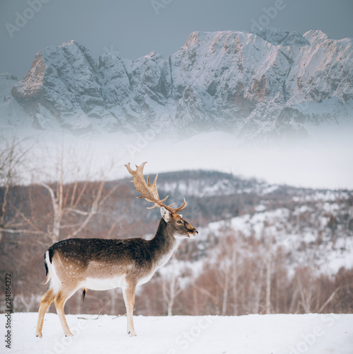 Fotografía  Beautiful white-tailed deer in winter. Christmas concept.