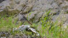 Codirosso Spazzacamino Posato Sulla Roccia In Montagna, In Estate