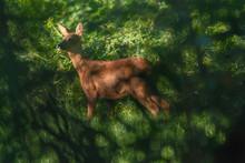Roe Deer In Sunny Meadow Hidde...