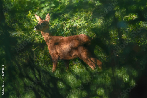 Roe Roe deer in sunny meadow hidden behind bushes.