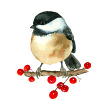 Chickadee Tit Bird Painting Hand Drawn Watercolor Art On Branch With Berries Isolated On White Background