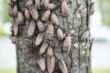 Spotted Lanternflies Or Lanter...