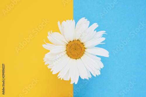Daisy flower on blue yellow background. Top view, copy space