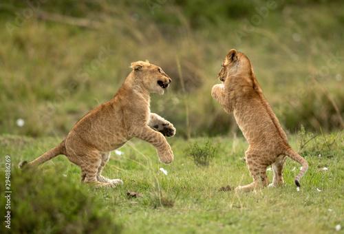 Lion cubs playing in Savannah, Masai Mara, Kenya Tablou Canvas