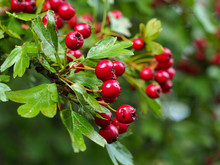 Red Hawthorn (Crataegus) Berries And Green Leaves In A Hedgerow