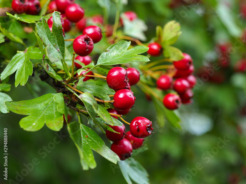 Canvas Print Red hawthorn (Crataegus) berries and green leaves in a hedgerow