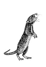 Vector  Rat Isolated On White ...