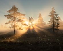 Pine Trees At Sunset In Koppgangen Nature Reserve, Sweden