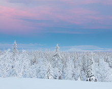 Trees Covered In Snow At Sunset
