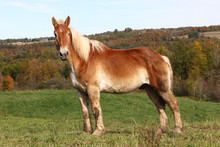 Honey Colored Amish Working Draft Horse Standing On A Hill Full Face View
