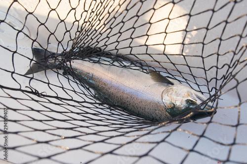 Obraz Fresh Coho Salmon in net - fototapety do salonu