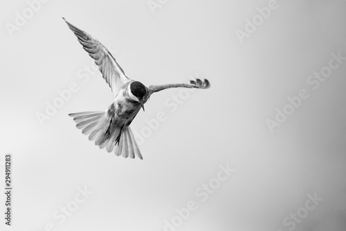 Whiskered tern in flight on cloudy day with spread wings artistic conversion Wallpaper Mural