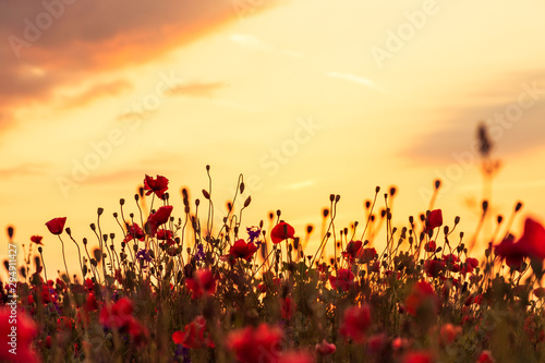 Poppy field at sunset, warm light
