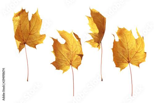 Photo Autumn yellow poplar leaf isolated on white background