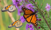 Monarchs On Purple Flower 2