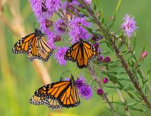 Monarchs On Purple Flowers