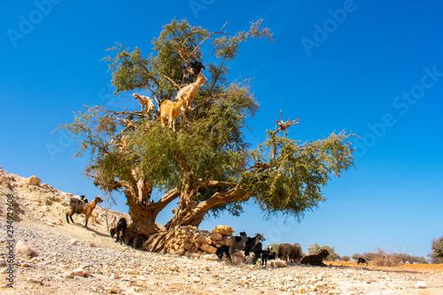 Heard of cloven-hoofed goats climbed on an argan tree (Argania spinosa) on a way Wallpaper Mural