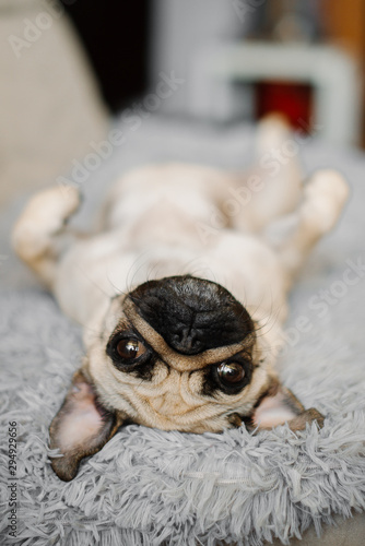 Poster Chien sad yellow pug looking sitting on a pouf grey cute