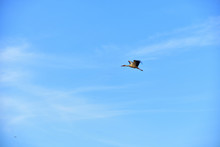 Lonely Stork Flying In The Blu...