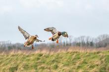 Female And Male Mallard Ducks ...