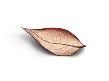 Rustic Autumn Golden Red And Brown Leaves Showing The Veins Of The Leaf Isolated On A White Background.