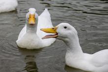 Heavy White Pekin Ducks Swimmi...