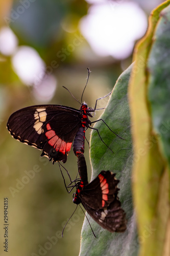 Deurstickers Vlinder Two butterfly mating. Common Mormon, Papilio polytes, beautiful butterfly