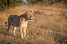 A Lioness, Panthera Leo, Stands In Short Brown Grass, Looking Out Of Frame, Mouth Open, Tail Curled Up