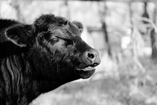 Cute Angus Calf Closeup During Weaning In Black And White.