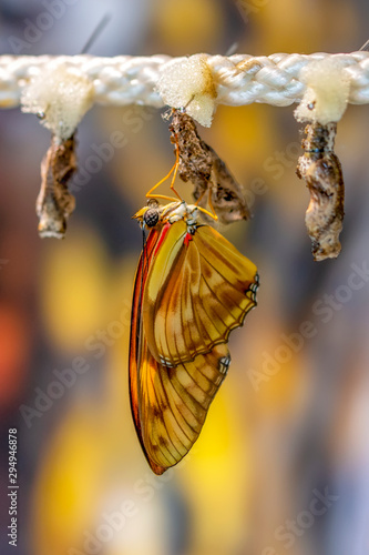 Deurstickers Vlinder Amazing moment ,butterfly emerging from its chrysalis