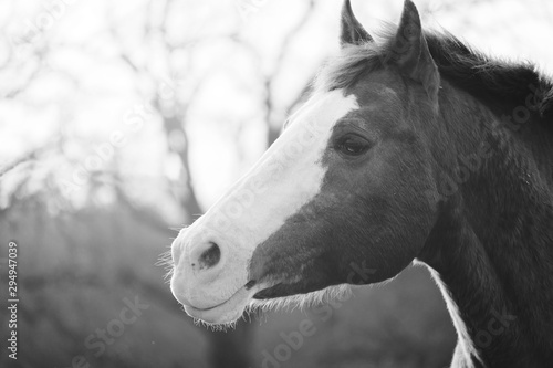 Profile view of bald face stallion horse in black and white.