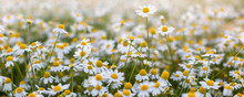 Close Up Of Blooming Field Of Daisies.,Field Of Daisies