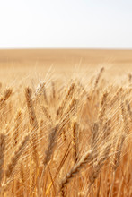 Close Up Of Summer Wheat Field...