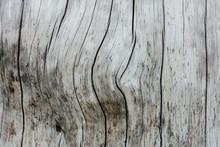 Close Up Of Burnt Lodgepole Pi...